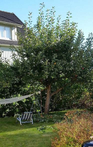 klippning av äppelträd